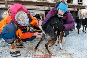Volunteer veterinarian Rikke Aarmo takes the temperature of  a Blair Braverman during the pre-race vet check at Iditarod Headquarters in Wasilla, Alaska. Wednesday February 26, 2019 Photo by Jeff Schultz/  (C) 2019  ALL RIGHTS RESERVED