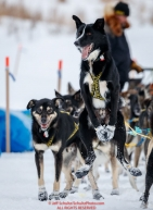 Jeff King's leader is still ready to run as Jeff checks in to the checkpoint at Iditarod on Thursday, March 8th during the 2018 Iditarod Sled Dog Race -- AlaskaPhoto by Jeff Schultz/SchultzPhoto.com  (C) 2018  ALL RIGHTS RESERVED