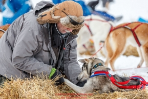 Volunteer veterinarian Ron Hallstrom checks an Emily Maxwell dog at the Iditarod checkpoint on Friday, March 9th during the 2018 Iditarod Sled Dog Race -- AlaskaPhoto by Jeff Schultz/SchultzPhoto.com  (C) 2018  ALL RIGHTS RESERVED