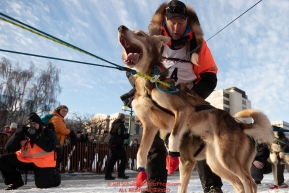 Matts Pettersson dog North lunges to leave as the dogs line up on 4th avene during the ceremonial start of the 2019 Iditarod on Saturday March 2, 2019.Photo by Jeff Schultz/  (C) 2019  ALL RIGHTS RESERVED
