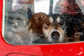 Dropped dogs look out the window of Wes Erb's plane at the ghost-town checkpoint of Iditarod as they get ready for a flight back to McGrath on Saturday, March 10th during the 2018 Iditarod Sled Dog Race -- AlaskaPhoto by Jeff Schultz/SchultzPhoto.com  (C) 2018  ALL RIGHTS RESERVED