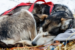 A Brett Bruggeman dog sleeps at the Kaltag checkpoint on Sunday afternoon March 10th during the 2019 Iditarod Trail Sled Dog Race.Photo by Jeff Schultz/  (C) 2019  ALL RIGHTS RESERVED