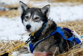 A Seth Barnes dog rests at the Kaltag checkpoint on Sunday afternoon March 10th during the 2019 Iditarod Trail Sled Dog Race.Photo by Jeff Schultz/  (C) 2019  ALL RIGHTS RESERVED