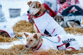 Aliy Zirkle's dogs Clyde and Rodney (Father and Son) rest at the Kaltag village checkpoint on Sunday morning March 11th during the 2018 Iditarod Sled Dog Race -- AlaskaPhoto by Jeff Schultz/SchultzPhoto.com  (C) 2018  ALL RIGHTS RESERVED