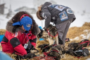 Veterinarians Karyn Coleman and Lee Morgan work on Mike Williams Jr. at the Unalakleet checkpoint on Monday afternoon March 12th during the 2018 Iditarod Sled Dog Race -- AlaskaPhoto by Jeff Schultz/SchultzPhoto.com  (C) 2018  ALL RIGHTS RESERVED