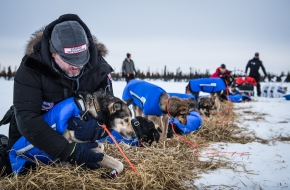 Veterinarians from all over the world volunteer their time to take care of these sled dogs at each checkpoint along the Iditarod trail. Cripple, March 12th, 2020.