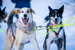 Excited dogs ready to park in Ruby, Alaska on March 13, 2020.