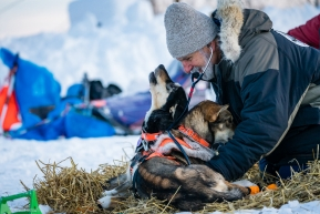 Veterinarians getting extra affection from some dogs during vet checks on March 13, 2020 in Ruby, Alaska.