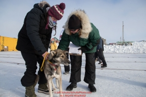 Vet tech Megan Hackman holds a Ray Redington Jr. dog as chief veterinarian Stu Nelson examines the dog during the Leonnard Seppala Humanitarian award review in the Nome dog lot on Wednesday March 14th during the 2018 Iditarod Sled Dog Race.  Photo by Jeff Schultz/SchultzPhoto.com  (C) 2018  ALL RIGHTS RESERVED