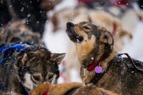 A dog sniffs the air as new teams arrive in Ruby during morning snow showers on March 14, 2020.