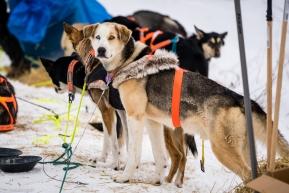Joar Leifseth Ulsom's lead dog staying on alert in Kokuk on March 16, 2020.