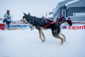 Stil ready to run, Jeff Deeter's dog team is still pulling after crossing the finish line of the Iditarod on March 18, 2020.
