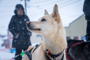 A dog on Kelly Maixner's team remains alert to everything going on around it at the finish line of the Iditarod in Nome, AK on March 18, 2020.