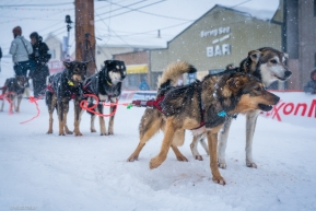 Kelly Maixner's dog team is still ready to go after completing the Iditarod in Nome, AK on March 18, 2020.