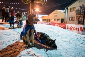 Two dogs get ready to rest after completing the Iditarod in Nome, AK on March 19, 2020.