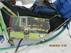 malemute in hawaii whose owner believes he would want to be on the iditarod trail sent photo to Nicolas.  Actually, to me, looks like the malemute is in a good situation.