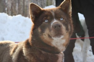 One of Mikhail Telpin's team, Iditarod 2013