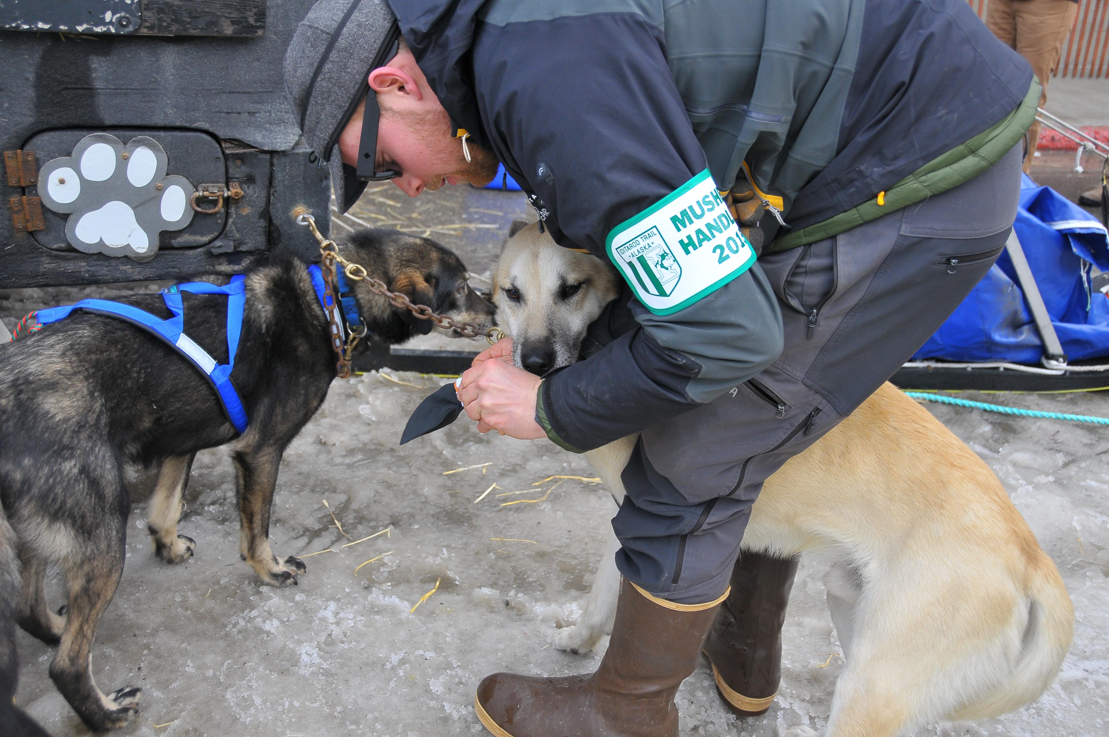 Dog handler bootying a dog before Restart in Fairbanks