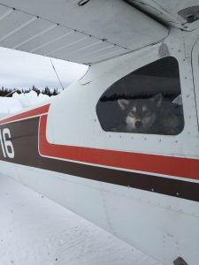 Dropped dog Iditarod Air Force